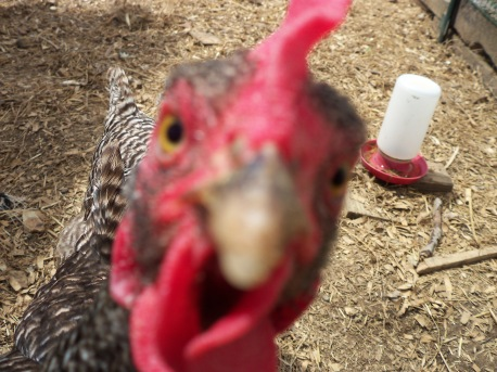 Another bonus chicken -- OOOH. . .SHINY.